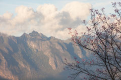 Cherry blossom with Chiang Dao mountain Stock Photo