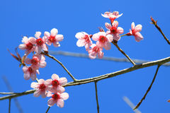 Cherry blossom in Chiang Mai, Thailand Stock Image