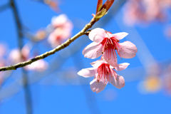 Cherry blossom in Chiang Mai, Thailand Royalty Free Stock Photo