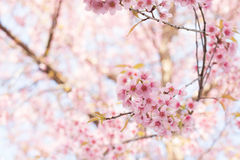 Cherry Blossom. At Chiangmai Thailand , make you feel like traveling to Japan for watching Sakura Royalty Free Stock Images