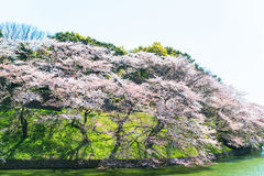 The cherry blossom at Chidorika-Fuji in Tokyo Royalty Free Stock Image