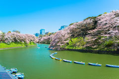 The cherry blossom at Chidorika-Fuji in Tokyo Royalty Free Stock Photo