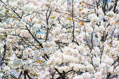 The cherry blossom at Chidorika-Fuji in Tokyo Royalty Free Stock Photography