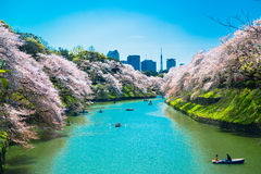 The cherry blossom at Chidorika-Fuji in Tokyo Stock Image
