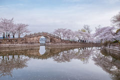 Cherry blossom in Chinese garden Royalty Free Stock Photo