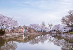 Cherry blossom in Chinese garden. Spring cherry blossom with traditional Chinese bridge in Yuantouzhu, Wuxi, China stock photo