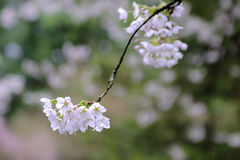 Cherry blossom in city center Royalty Free Stock Photos