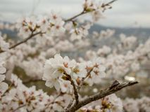 Cherry blossom city and mountain viwe royalty free stock images
