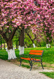 Cherry blossom in city park. Wooden bench under the branches of Sakura tree Royalty Free Stock Photo