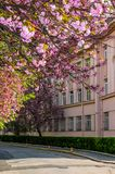 Cherry blossom on the city street of Uzhgorod. Beautiful cityscape in springtime Stock Photography