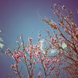 Cherry blossom in clear sky Royalty Free Stock Image