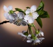 Cherry blossom close-up Stock Photos