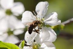 Cherry blossom close-up Royalty Free Stock Photo