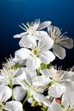 Cherry blossom close-up Stock Image