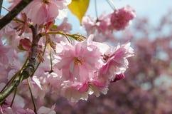 Cherry blossom close up Stock Image