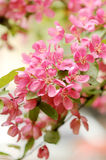 Cherry blossom, close-up Stock Photos