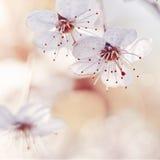 Cherry blossom close-up. Stock Image