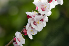 Cherry blossom. Close up og a cherry tree in blossom Stock Photography