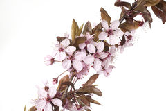 Cherry blossom. Close up of pink cherry blossom Royalty Free Stock Image