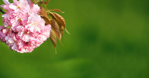 Cherry blossom, close up. Royalty Free Stock Images