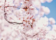 Cherry Blossom. Close up at some spring cherry Royalty Free Stock Photo