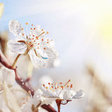 Cherry blossom close-up in sunshine Stock Image