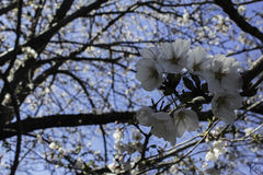 Cherry Blossom. Closer look for cherry blossoms royalty free stock images