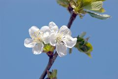 Cherry blossom closeup Stock Photography