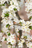 Cherry blossom closeup Royalty Free Stock Photos