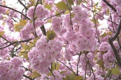 Cherry blossom closeup Royalty Free Stock Photography