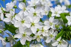 Cherry blossom closeup Royalty Free Stock Images