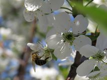 Cherry blossom closeup on blue sky on spring day royalty free stock photography