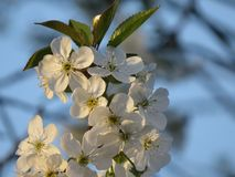 Cherry blossom closeup on blue sky on spring day royalty free stock image