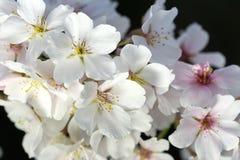 Cherry Blossom Closeup II Stock Images