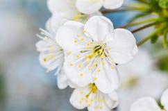 Cherry blossom. Closeup of cherry tree flower Stock Image