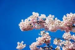 Cherry Blossom Closeup Royalty Free Stock Photos