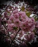 Cherry Blossom Cluster fotografia stock libera da diritti