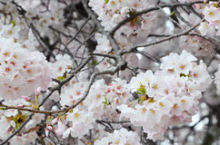 Cherry Blossom Clusters in Full Bloom Royalty Free Stock Images