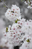 Cherry Blossom Clusters in Full Bloom Stock Photo