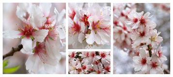 Cherry Blossom Collection Fotografia Stock Libera da Diritti