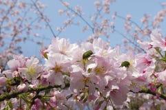 Cherry Blossom con cielo blu Fotografie Stock Libere da Diritti