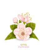 Cherry Blossom con le foglie isolate su fondo bianco Immagine Stock Libera da Diritti