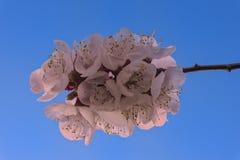 Cherry Blossom contra o Columbia Britânica Canadá de um Kelowna do vale de Okanagan do céu azul Fotos de Stock