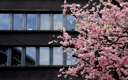 Cherry blossom contrast modern dark building. Photo taken in luxembourg during spring time. Dominant color is pink and black. The aim was to make the pink of the stock photos