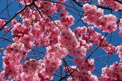 Cherry Blossom contre le ciel bleu Photo libre de droits