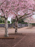 Cherry Blossom @ Cornwall Park, Auckland, New Zealand Royalty Free Stock Photography