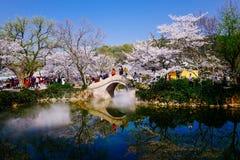 Cherry Blossom dal, wuxi, porslin arkivbild