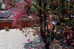 Cherry blossom in Dali. Yunnan, spring 2018 stock image