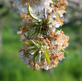 Cherry blossom damaged by morning frost in region of prespa,macedonia Royalty Free Stock Image