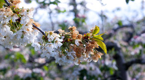 Cherry blossom damaged by morning frost in region of prespa,macedonia Royalty Free Stock Photography